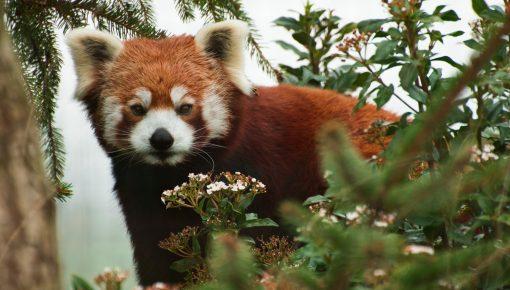 Sparsholt College red panda Mya