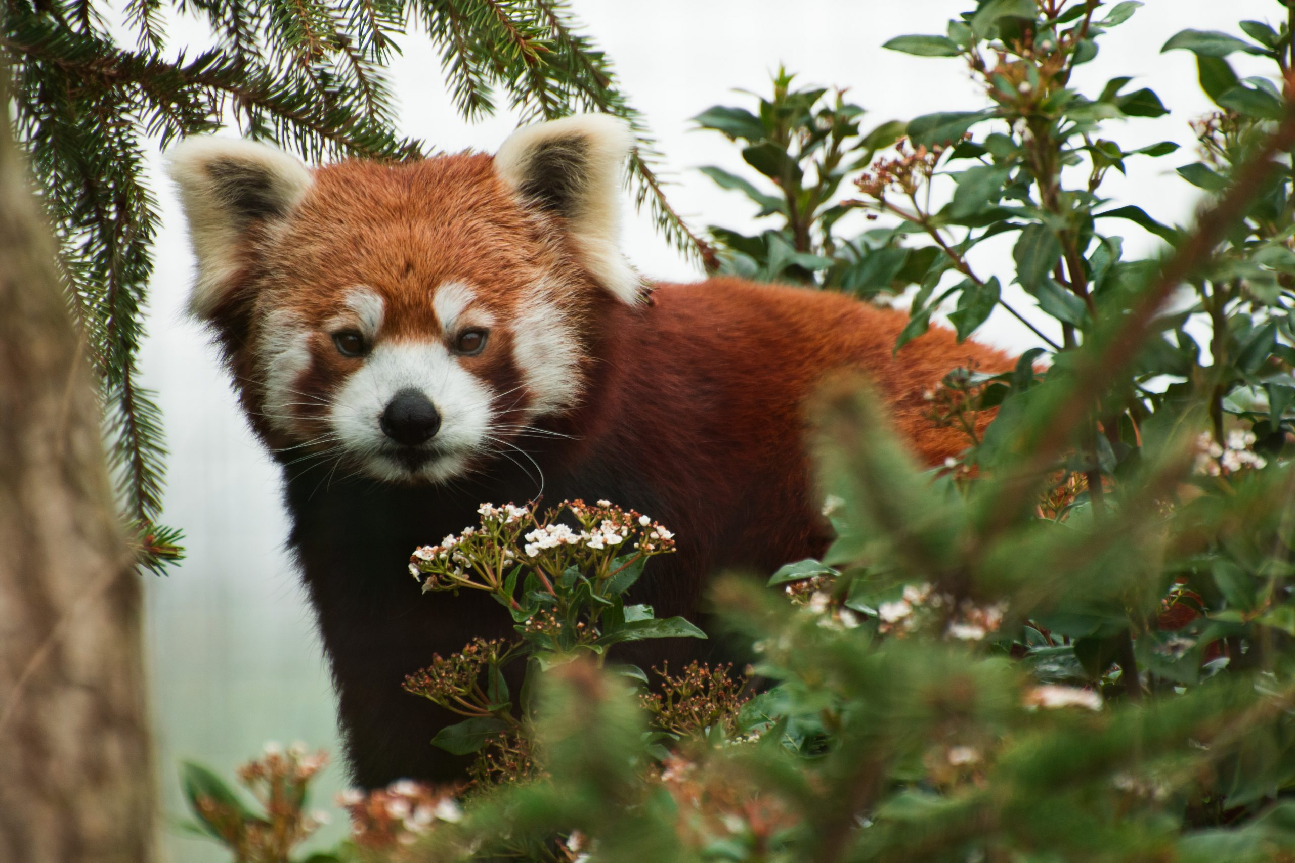 Sparsholt College red panda Mya